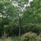 供应贵州8公分榉树价格,福建精品榉树批发产地