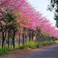 行道绿化大腹木棉景观树苗苗木供应商