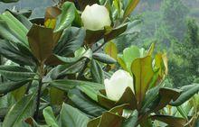 安徽滁州广玉兰种植基地-草坪种植报价优质供应