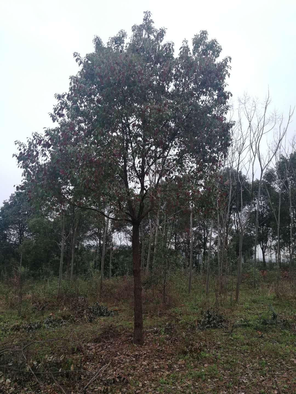 荆州15公分香樟种植批发基地-优质供应商服务销售电话
