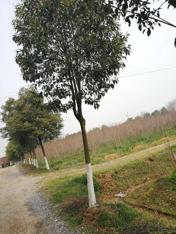 荆州哪里有大叶女贞种植批发基地-优质供应商服务销售电话