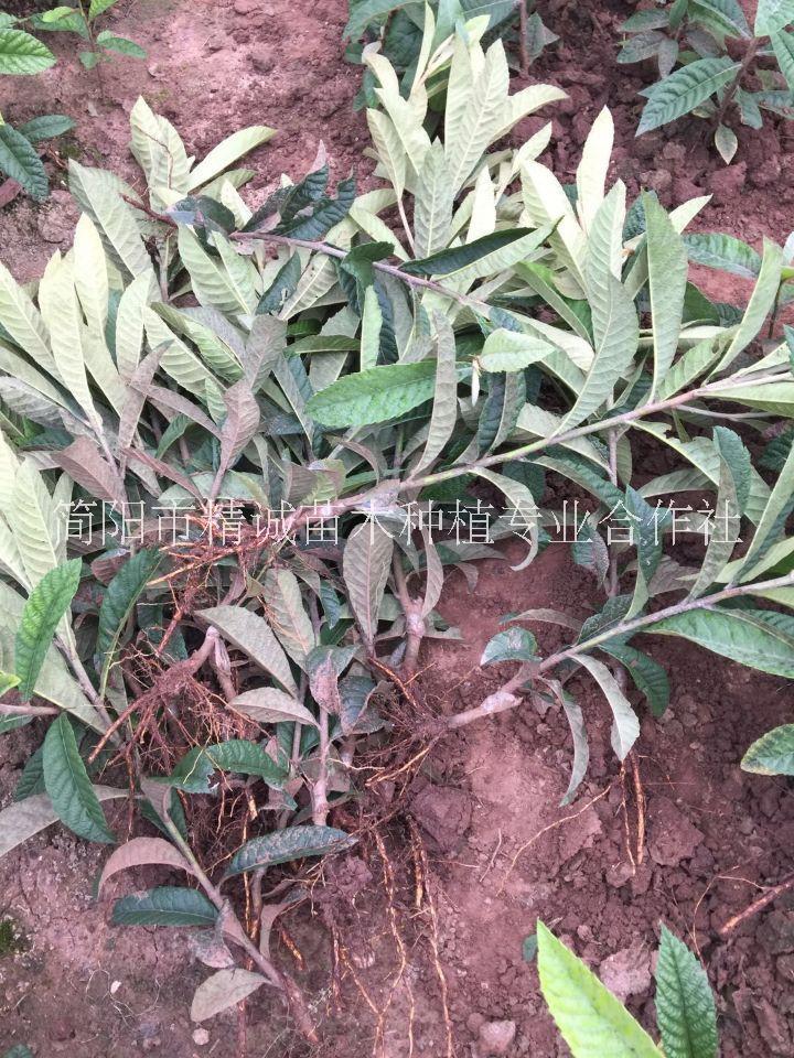 四川重庆大五星枇杷苗种植基地直销批发价格多少钱、怎么卖-报价