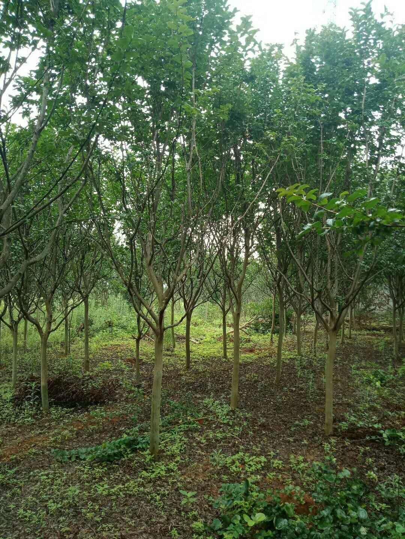 江西雄腾园林供应紫薇树种植基地直销价格