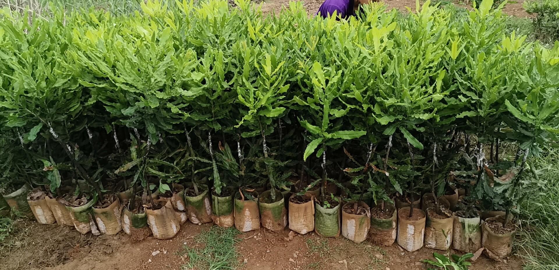 【桂热一号】澳洲坚果苗 夏威夷果树苗 种植基地直销坚果嫁接苗