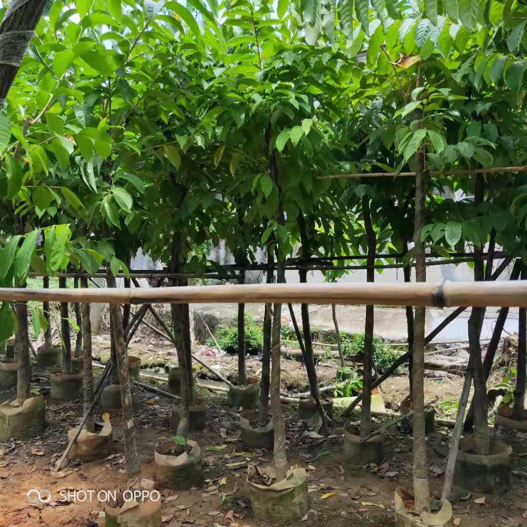 大叶紫薇的功效 养殖基地