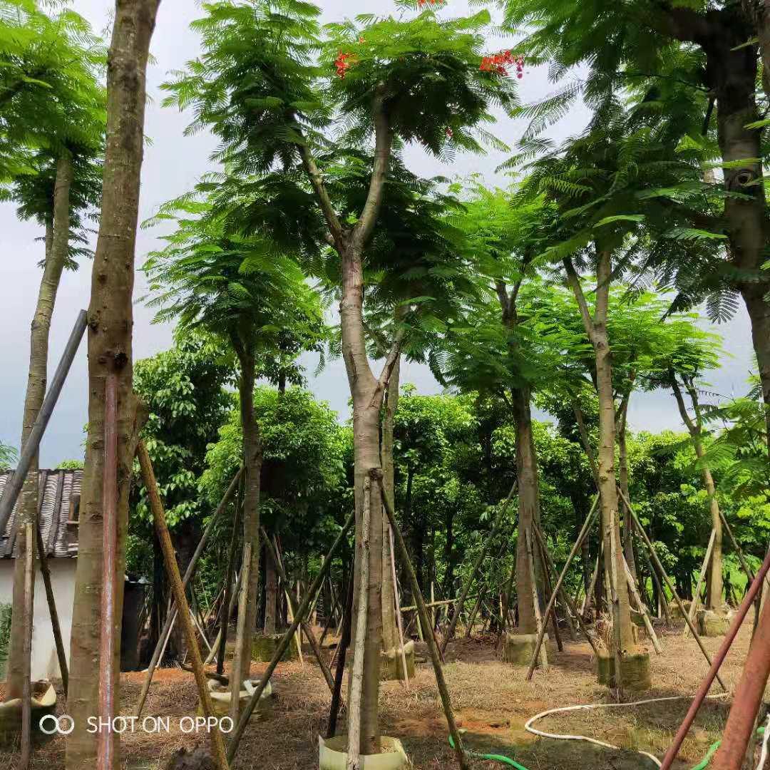 凤凰木种植基地 大型凤凰木基地