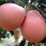 广西钦州三红蜜柚子苗种植基地-广西三红蜜柚子苗批发价格【灵山县武利镇万锋果苗种植场】