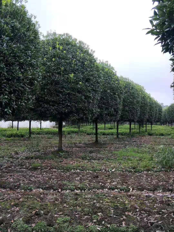 四川2米桂花树种植基地批发价格多少钱一棵-哪里有卖