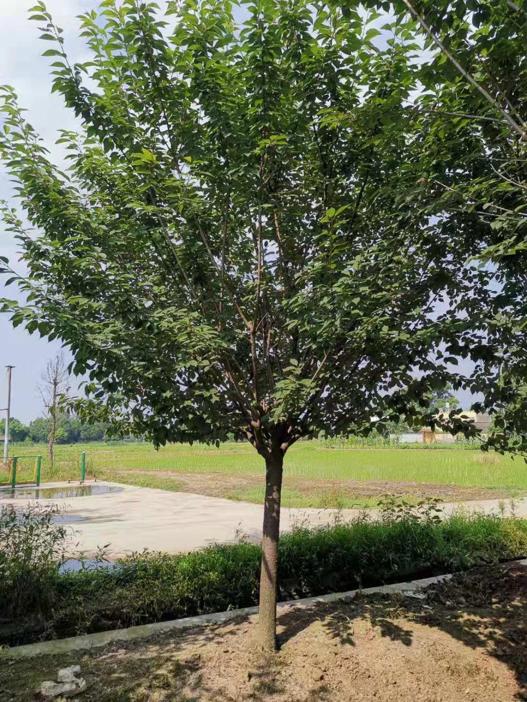 成都80公分樱花树种植基地批发价格多少钱一棵-哪里有卖