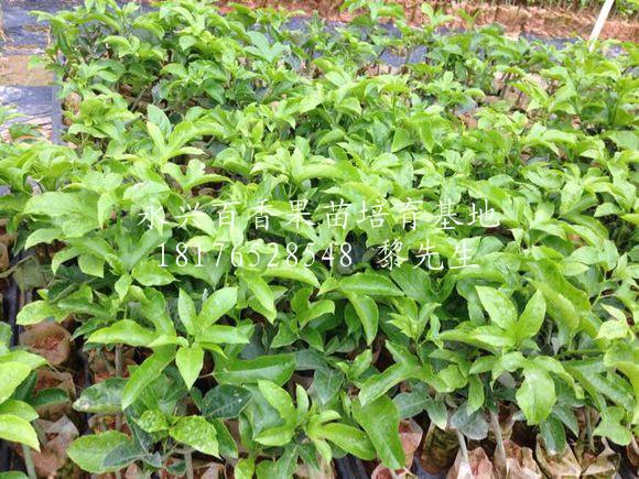 桂林紫香1号百香果苗种植基地-【永兴百香果苗培育基地】