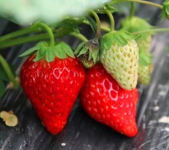 四川哪里有草莓苗种植基地_四川草莓苗批发价格表_【泰安高新区北集坡凯硕园艺场】