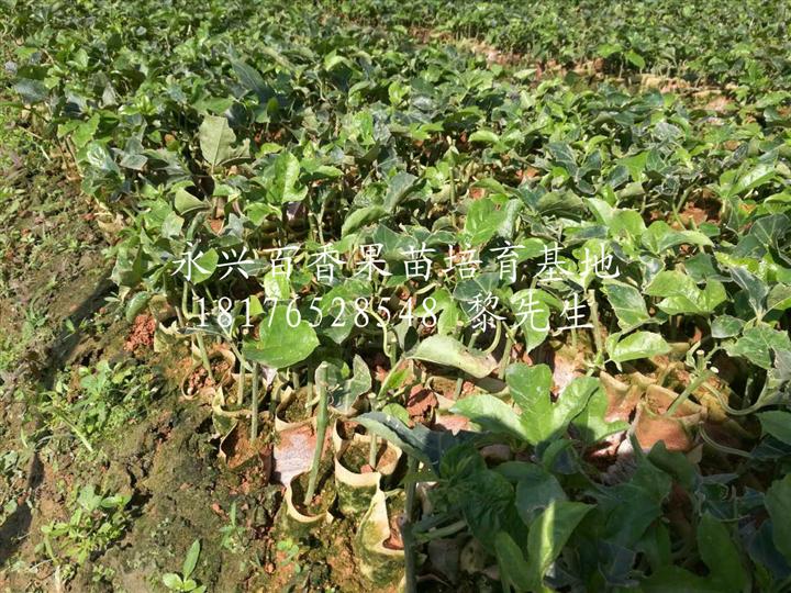 广西紫香1号百香果苗种植基地-【永兴百香果苗培育基地】