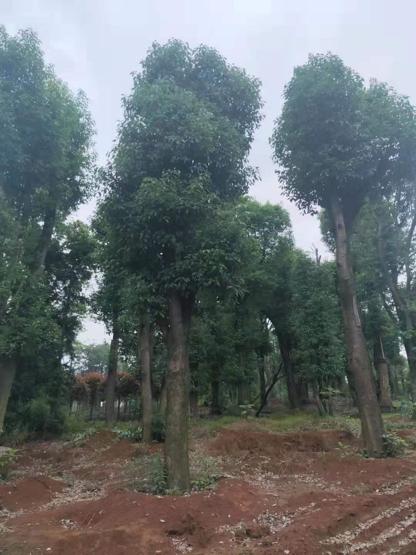 湖南益阳12公分香樟树种植基地出售价格-香樟树报价