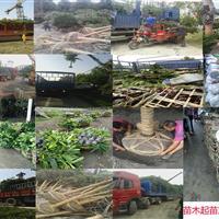 四川成都红继木种植基地-【成都华成园艺场】