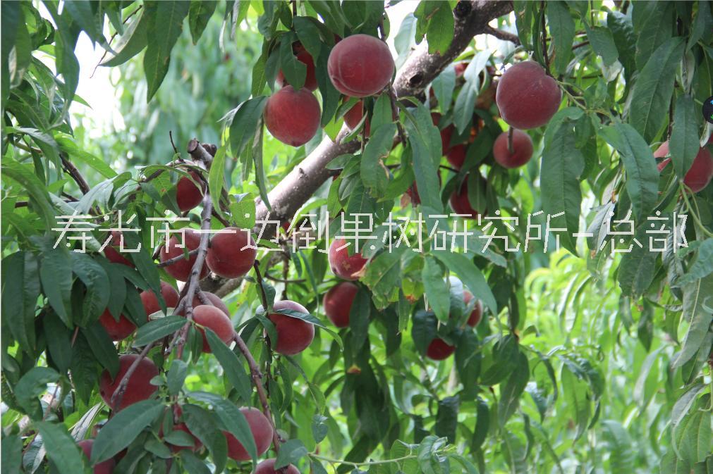 超圆红桃 桃苗 桃苗价格 基地供应