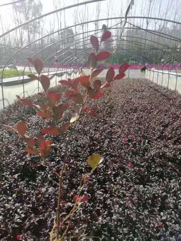 昆明红花继木小苗,昆明红花继木种植基地,昆明红花继木批发价格