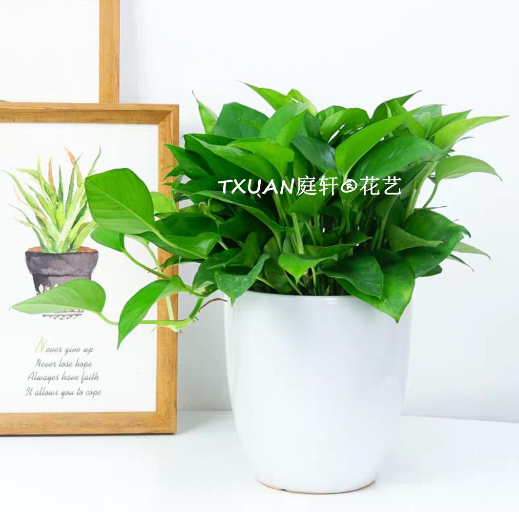 小绿萝_办公室植物租赁出租报价价格 庭轩家居你的绿植专家 小绿萝租赁