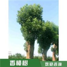 河南12公分香樟树价格,湖南丛生香樟树苗价格,低价香樟直产直销