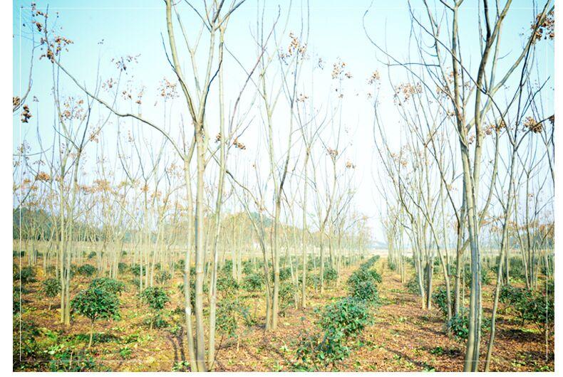 栾树基地种植,栾树批发,栾树价格