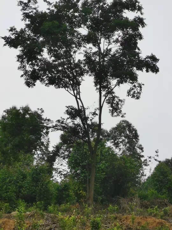 成都朴树哪里有卖基地销售价格-批发价-站地朴树处理