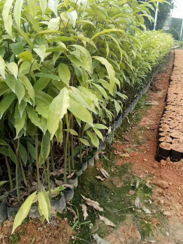 土沉香种植优质批发