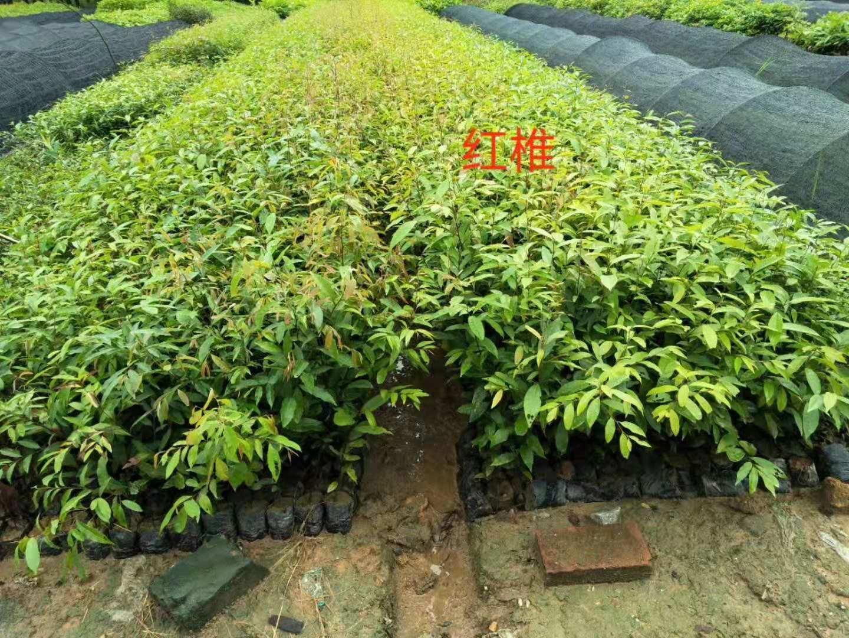 广州增城红椎种植基地批发价格报价哪家便宜