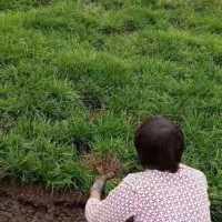 四川成都大量销售品质优麦冬草,成都麦冬草基地批发,1平方米需要种植几斤麦冬草