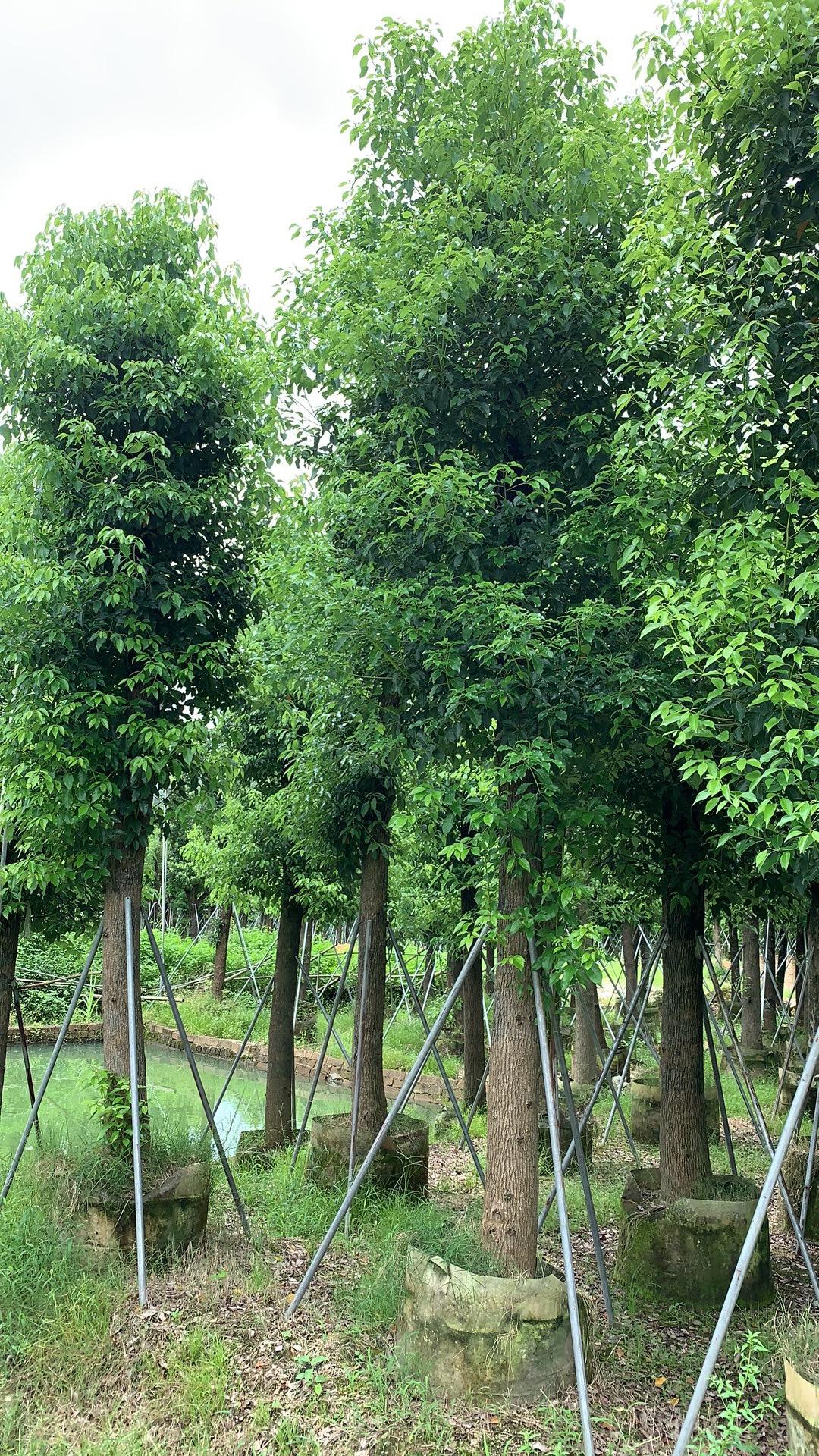 香樟树 香樟树基地 揭阳香樟树基地 普宁香樟树基地 福建香樟树基地 15公分香樟树 10公分香樟树