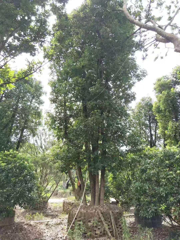 香樟树 香樟树基地 广东香樟树基地 揭阳香樟树基地 普宁香樟树基地 15公分香樟树