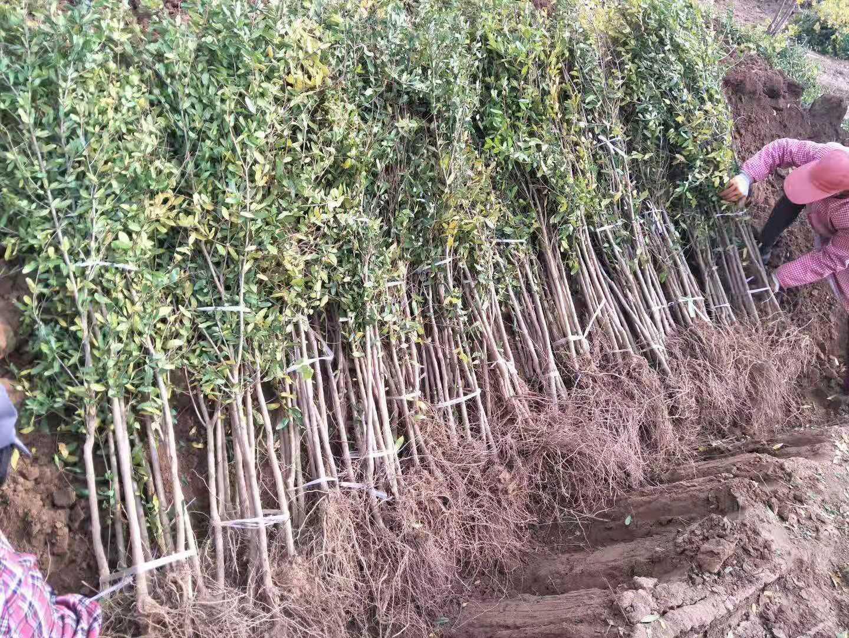 突尼斯石榴树苗批发商—供应商—种植