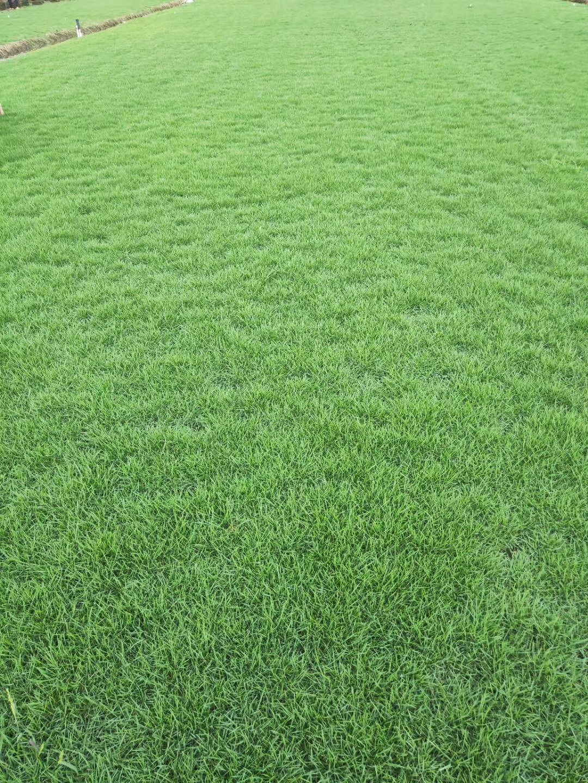 中山天鹅绒草坪种植基地直销价格