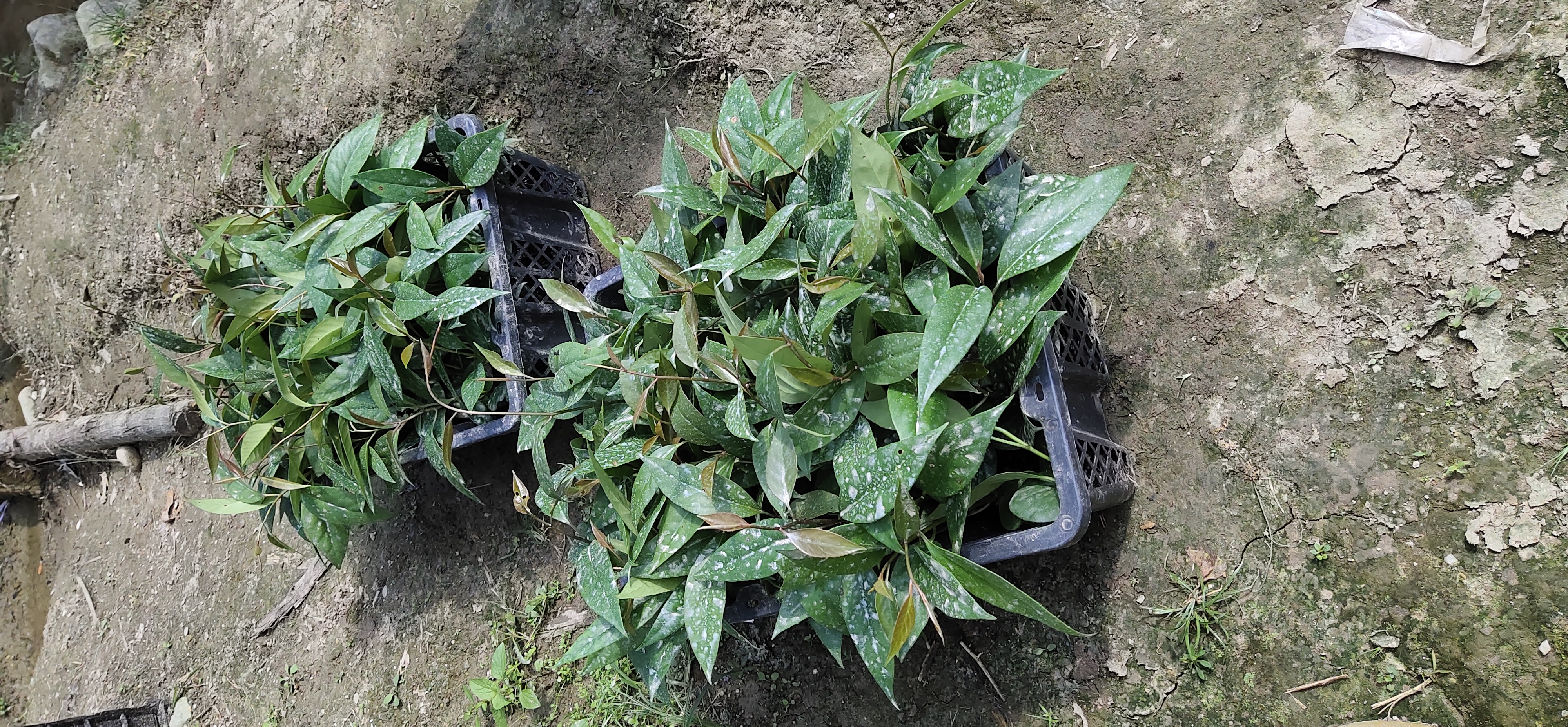 广西黑老虎苗种植基地直销价格