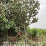 广玉兰供应价格、价钱、批发【河南省博达园林艺术工程有限公司】