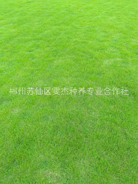 福建马尼拉草坪直销基地  绿化草坪出售 福建马尼拉草坪销售基地