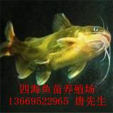 广西黄骨鱼苗养殖场_广西黄骨鱼苗价格-广西黄骨鱼苗批发市场