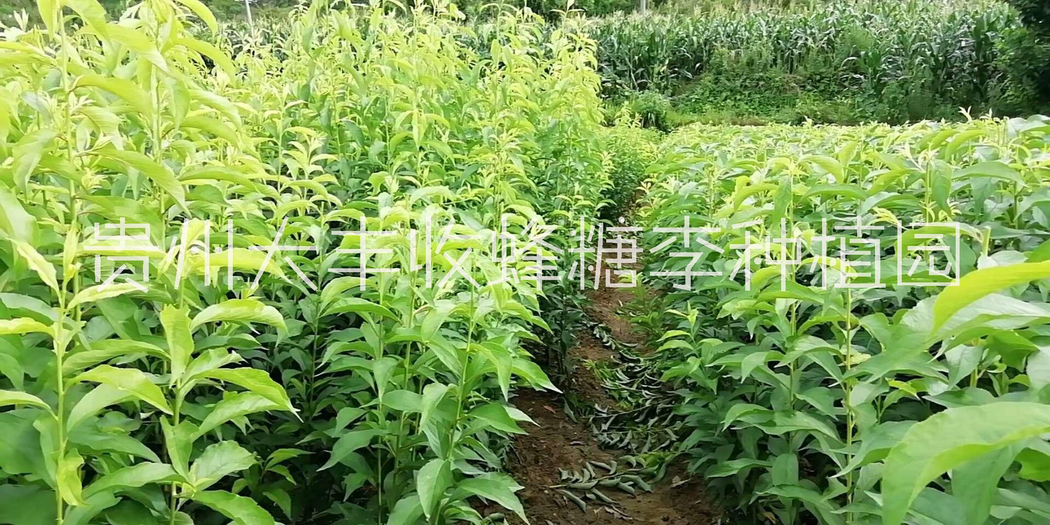 广元优质蜂糖李树苗种植基地,遂宁专业培育蜂糖李果树苗基地电话,遂宁哪里有蜂糖李苗卖