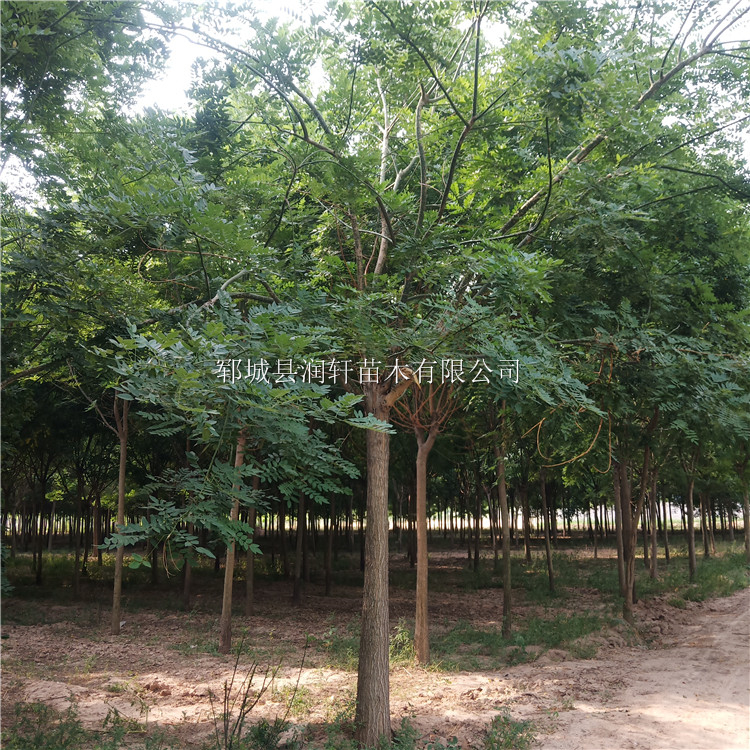 国槐树出售 20公分国槐绿化树苗 郓城县润轩苗木种植销售大国槐小国槐