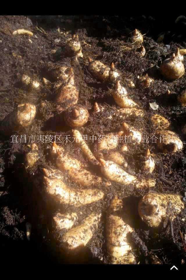 宜昌天麻之乡供应天麻种子菌种