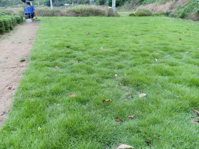 株洲优质马尼拉草坪批发,株洲马尼拉草卷供应商,株洲哪里有马尼拉草坪卖