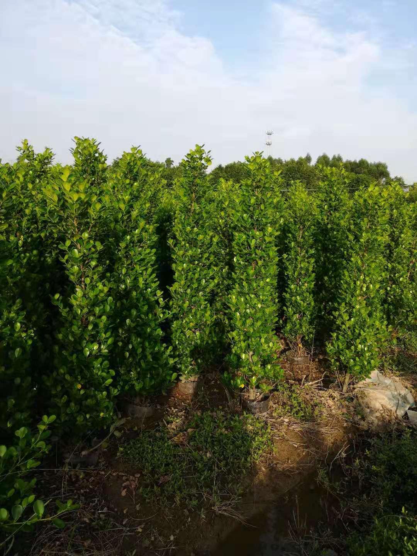 供应大叶黄杨种植基地-大叶黄杨苗-工程苗-专卖苗木基地直销-优质绿化苗木