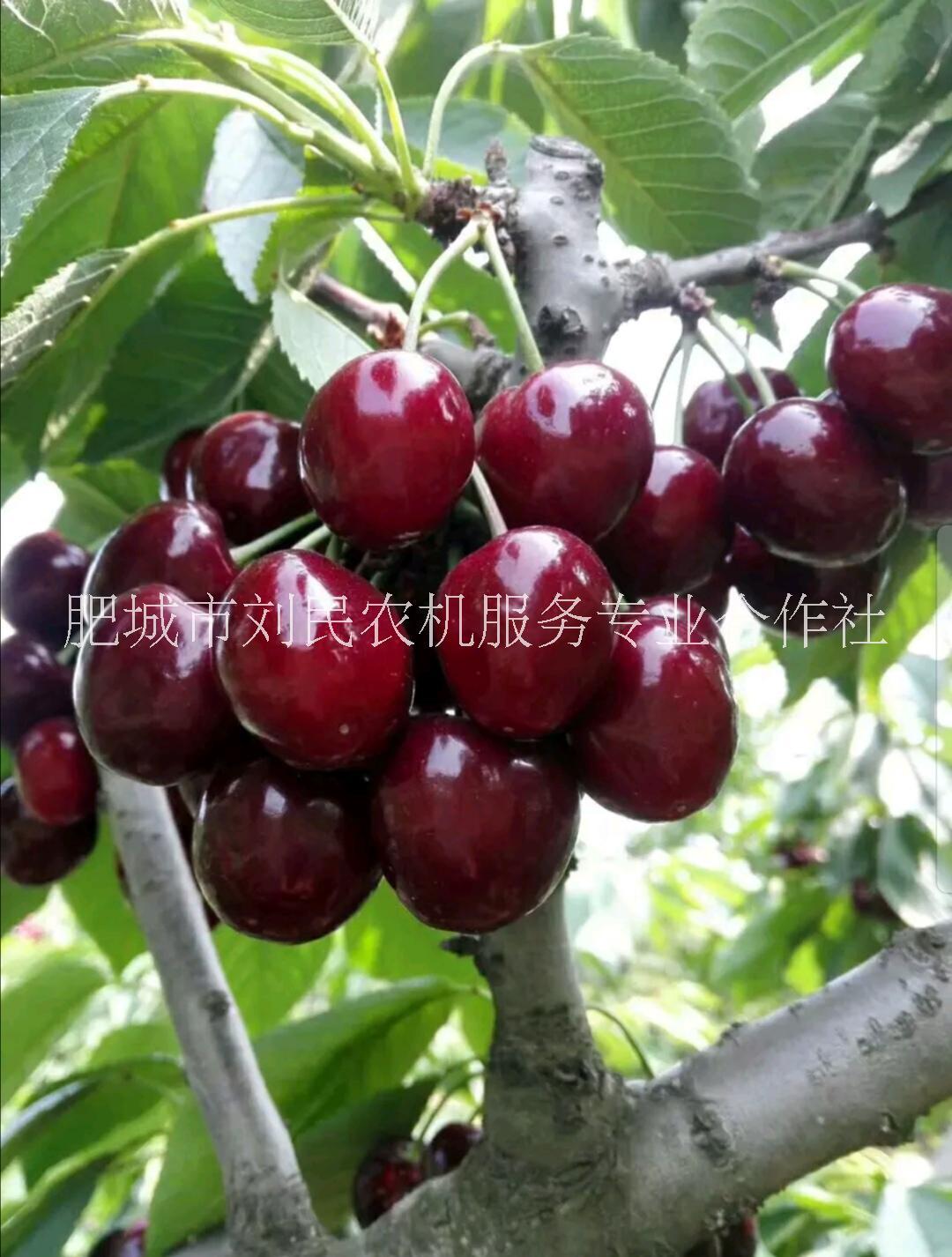 樱桃苗-优质樱桃苗- 樱桃小苗价格-山东大樱桃