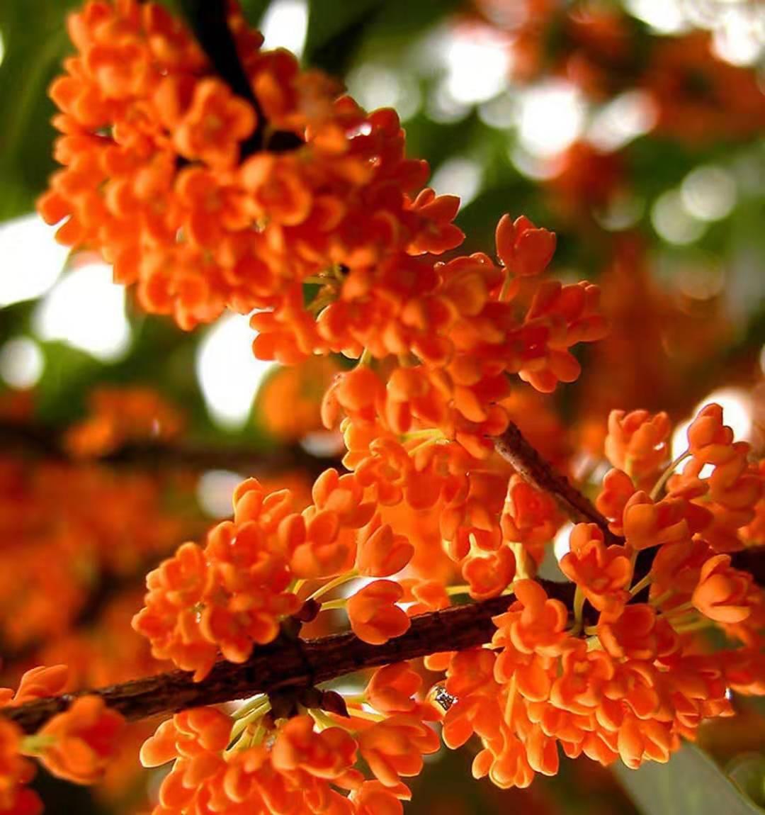 浏阳 市湖南红桂花树种植基地
