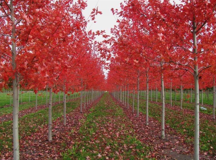 美国红枫种植基地电话_美国红枫批发_美国红枫价格哪里便宜