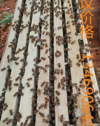 中蜂养蜂场出售蜂群箱蜂笼蜂中蜂 养蜂场出售蜂群蜂箱笼蜂中蜂