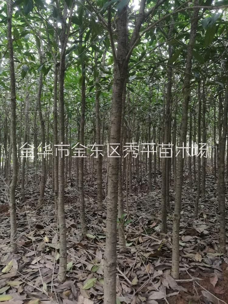 桂花树苗价格_报价_价钱【金华市金东区秀平苗木场 】