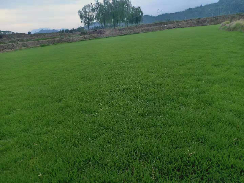 湖南马尼拉草皮大量现货批发销售,益阳专业培育马尼拉草卷草皮种植基地,益阳马尼拉草卷供应商