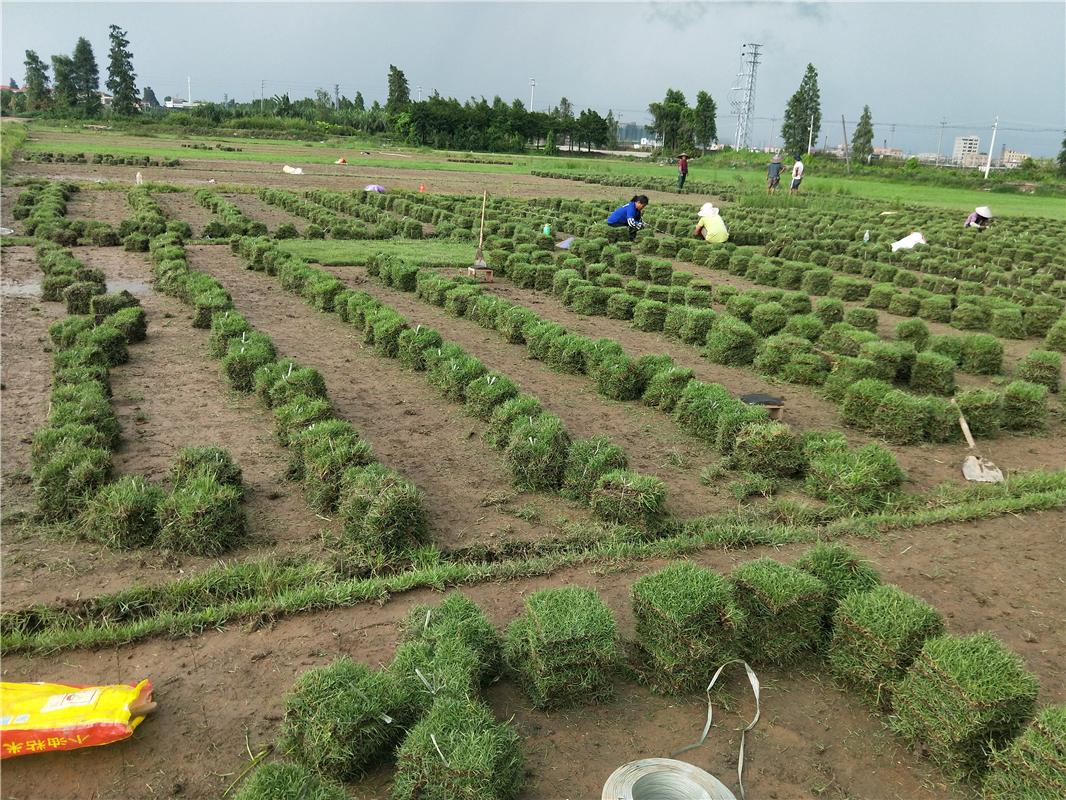 湖南郴州沙地夏威夷草培育基地直销价格 高存活率