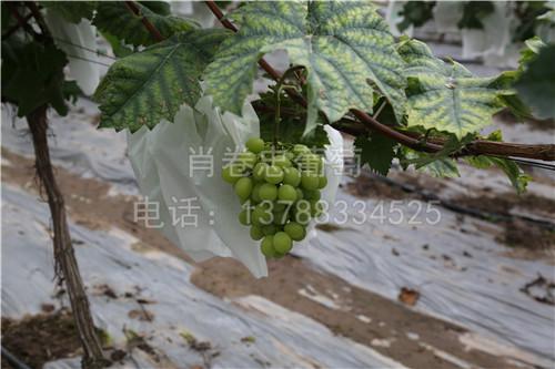 广西贵港阳光玫瑰葡萄