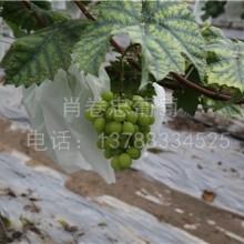 广西百色阳光玫瑰葡萄