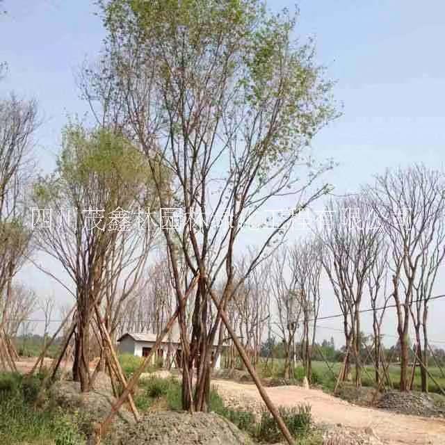 陕西茶条戚树,独干茶条戚树,丛生茶条戚树,陕西西安特产树